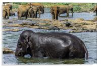 Elephants in Sri Lanka, Acrylic Print