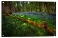 Bluebells and a fallen tree, Acrylic Print