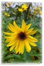 yellow flowers of autumn, Acrylic Print