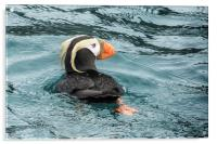 Tufted Puffin, Acrylic Print
