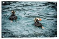 Tufted Puffin Pair, Acrylic Print