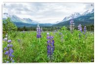 Lupin and the Beauty of Alaska, Acrylic Print