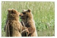 Brown Bear Cubs - Face Off, Acrylic Print