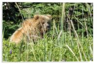 Bear Cub with Wet Face, Acrylic Print