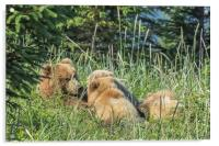 Triplet Bear Cubs Nursing, No. 1, Acrylic Print