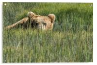 Being Watched by a Big Brown Bear, Acrylic Print