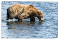 Brown Bear Going for a Dip, Acrylic Print