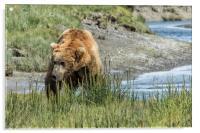 Brown Bear After His Dip, Acrylic Print