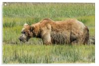 Brown Bear Grazing, Acrylic Print