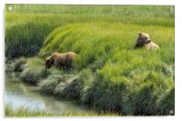 Two Brown Bear Cubs in a Meadow of Variegated Gree, Acrylic Print