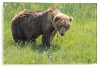 Don't Mess with Mama Bear, Acrylic Print