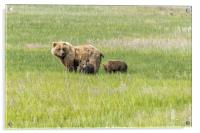 Mother Brown Bear With Her Two Cubs, No. 1, Acrylic Print