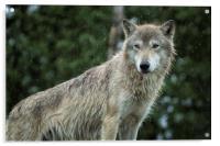 Tundra Wolf in the Rain, Acrylic Print