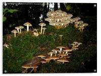 Fairy Ring of Mushrooms, Acrylic Print