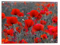 Red Poppies, Acrylic Print