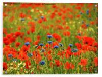 Poppies and Cornflowers, Acrylic Print