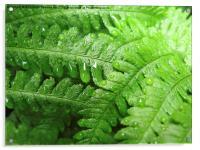 Green Bracken with  Raindrops, Acrylic Print
