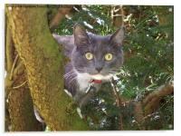 Stare Cat in a Yew Tree, Acrylic Print