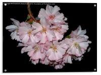 Prunus Blossom on Black, Acrylic Print