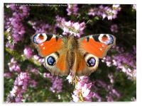 Peacock Butterfly on Heather, Acrylic Print