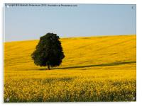 Beech Tree in Yellow Field, Acrylic Print