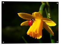 Ladybird on Daffodil in Sunshine, Acrylic Print