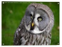 Glancing Alaskan Owl, Acrylic Print