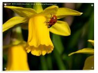 "7 spot Ladybird on Daffodil ""Tete a tete""., Acrylic Print"