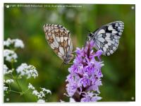 Mr and Mrs Marbled White on a Spotted Orchid, Acrylic Print