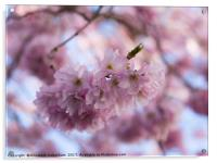 Pretty Pastel Pink Prunus Blossom., Acrylic Print