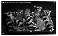 Gang Of Ring-Tailed Lemurs, Acrylic Print