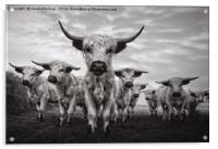 Highland Cattle Mixed Breed Mono, Acrylic Print