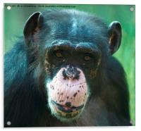 Rosie The Chimpanzee, Acrylic Print