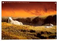Highland Sheep, Acrylic Print