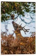 fallow deer , Acrylic Print