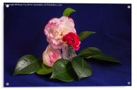 Pink Green White on blue, Acrylic Print
