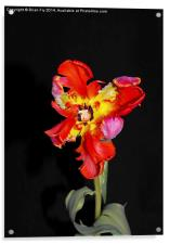 Beautiful Parrot Tulip, Acrylic Print