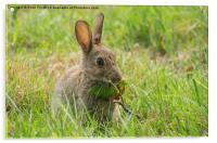 Common brown rabbit, Acrylic Print