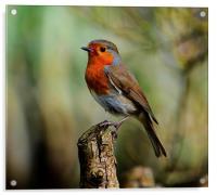robin redbreast, Acrylic Print
