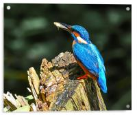 kingfisher, Acrylic Print