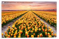 A colourful evening at a Dutch Tulip field, Acrylic Print