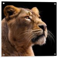 Lioness 2, Acrylic Print