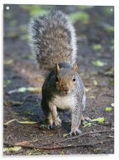 Grey Squirrel, Acrylic Print