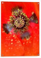 Poppy Head macro, Acrylic Print