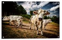 Cows, Acrylic Print