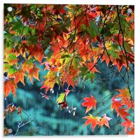 Rainy Autumn Acer at Westonbirt, Acrylic Print