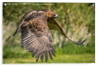 Red tailed hawk in flight, Acrylic Print