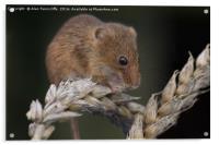 Harvest mouse, Acrylic Print