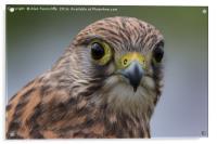 Falcon, Acrylic Print