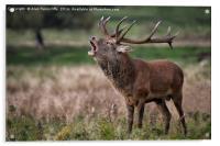 Royal red deer stag, Acrylic Print